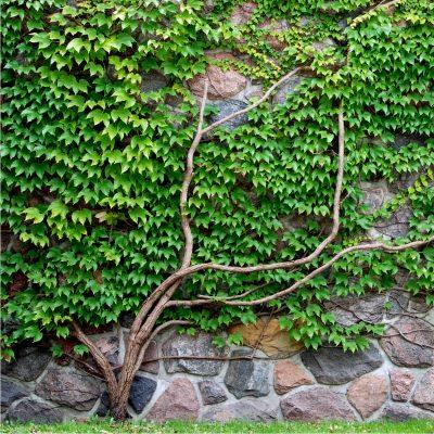 borostyán a falon
